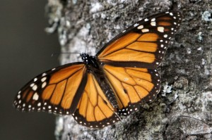 mexico-monarch-butterflies.jpeg-620x412