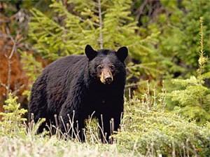 black_bear_fr