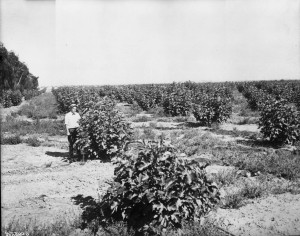 "Fresno and its orchards of figs. Photo by ""Pop"" Laval, 1915"