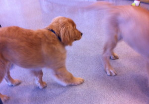 "Our puppy at ""puppy socialization"" class . . ."